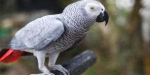 Il pappagallo testimone dell'accusa