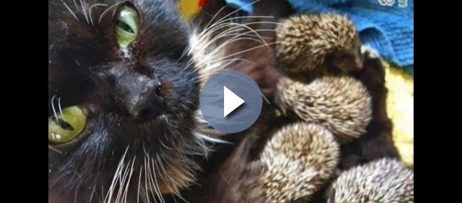 Amor animal: gata adota ouriços órfãos em zoológico na Rússia