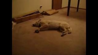 Vídeo: Cachorro sonâmbulo acorda de um pesadelo