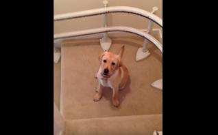 Perrito triunfa en las redes por su particular forma de bajar las escaleras